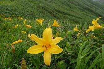 ニッコウキスゲ(笠ヶ岳下り、写真:群馬県山岳連盟)