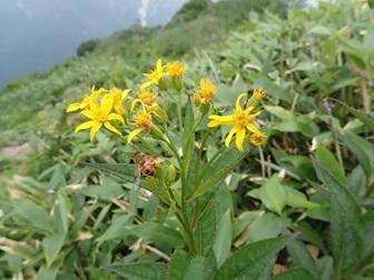 キオン(肩ノ小屋周辺、写真:群馬県山岳連盟)