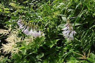 オオバギボウシ(写真:群馬県山岳連盟)